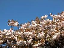 Dessus d'un cerisier avec la fleur blanche pâle fraîche contre un ciel clair bleu lumineux de ressort photo stock