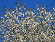Dessus d'un pommier très beau en fleur sur un fond d'un beau ciel bleu photos stock