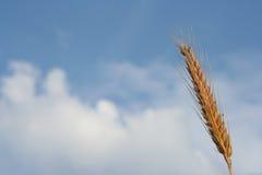Dessus de blé Photographie stock libre de droits