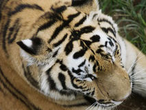 Dessus de la tête d'un tigre photo stock