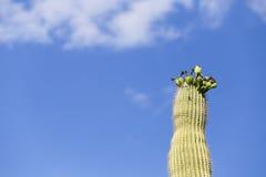 Dessus de Saguaro Photo libre de droits