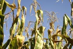 Dessus de tige de maïs image stock