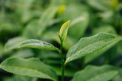 Dessus des feuilles de thé dans la ferme photos libres de droits