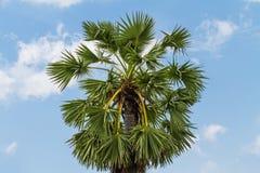 Dessus des palmiers de sucre sur le fond de ciel Photos libres de droits
