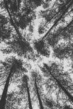Dessus des pins dans la photo de monochrome de forêt Image libre de droits