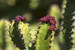 Dessus des tiges de griseola d'euphorbe avec des fleurs photo libre de droits