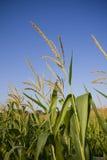 Dessus des tiges de maïs Photo libre de droits