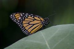 Dessus du monde (papillon de monarque) Images stock