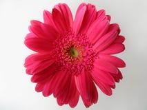 Dessus rose de fleur de gerber de marguerite Images stock