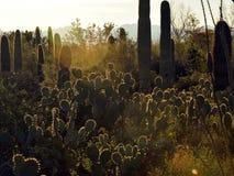 Destaques retroiluminados em cactos no deserto fotografia de stock royalty free