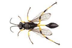 Destillatorium dello sceliphron di specie dell'imbrattatore di fango della vespa fotografia stock libera da diritti