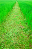 Destination is too far,pathway among rice field Royalty Free Stock Photography