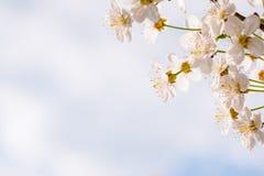 Destra dei fiori della ciliegia Fotografia Stock