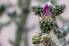 Destra del primo piano del cactus Fotografia Stock