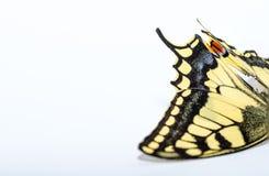 destra di bianco di coda di rondine della farfalla Fotografie Stock Libere da Diritti