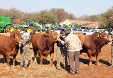 Destri tori che sono ispezionati dal giudice di manifestazione Fotografia Stock Libera da Diritti