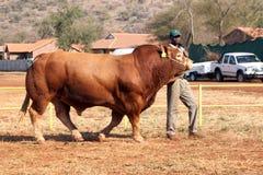 Destro toro che è cavo in arena tramite l'operatore Immagine Stock