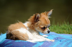 Destroy puppy chihuahua. Portrait of a cute purebred playing puppy chihuahua stock photo