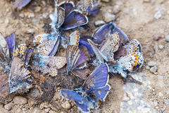 Destroyed butterfly family Royalty Free Stock Image