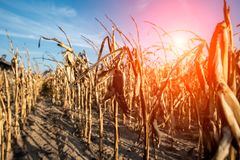 Destroyed corn field. Due to dramatic dry weather Royalty Free Stock Photography