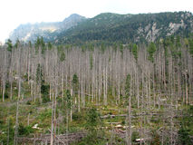 Destroyed forest insects. Forest destroyed by disasters and bark beetles Stock Images