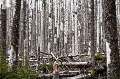 Destroyed forest, a lot of dead trees Stock Photography