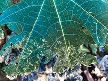 Destroyed Papaya leaves stock image