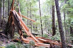 Destroyed shattered tree folded over from destruction Stock Photography