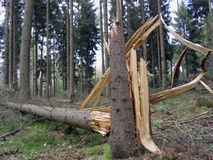 Destroyed tree. In danish forest after a hard storm Royalty Free Stock Photos