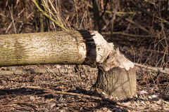 Destroyed tree Royalty Free Stock Photography