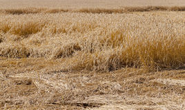 Destroyed wheat. Wheat destroyed by bad weather. some ears lie on the earth royalty free stock photography