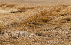 Destroyed wheat. Wheat destroyed by bad weather. some ears lie on the earth royalty free stock image
