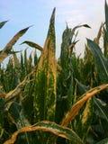 Destrozo de hoja septentrional del maíz del maíz Helminthosporium o Turcicum i Imágenes de archivo libres de regalías