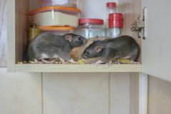 Destruction of food stocks. mice are black two pieces. symbol. Of the 2020 Chinese calendar. rat pests stock photography