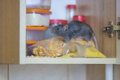 Destruction of food stocks. the rat is the black symbol of. The 2020 Chinese calendar. Shelf with food storage stock images