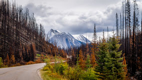 Destruction from a Forest Fire along the Maligne Lake Road. In 2015 in Jasper National Park in the Canadian Rockies Royalty Free Stock Photography