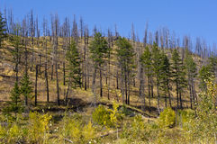 Destruction and regrowth. Blackened forest fire area showing regrowth in the BC interior Royalty Free Stock Photos