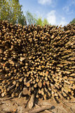 Destructive exploitation. Stack of wood and forest trees in the background as a concept for renewable energy source and resource or destructive exploitation Stock Images