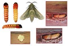 Destructive pest of grapevine. Moth (Paropta paradoxus) and stages of development (imago, larva, pupa and eggs) are most destructive pest of grapevine Royalty Free Stock Photo