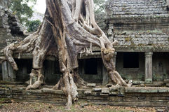 Destructive tree, Preah Khan temple, Cambodia Stock Photo