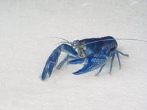 destructor azul de Cherax del camarón Imagen de archivo libre de regalías