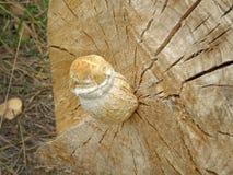 Destruens Pholiota гриба Стоковое Изображение