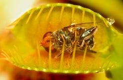 Desvío de la mosca de Venus Imagen de archivo