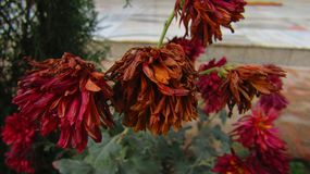 Desvanece-se a flor fotografia de stock royalty free