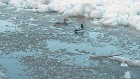 Desviación del hielo en el río Las masas de hielo flotante de hielo móviles se cierran para arriba Patos en el río almacen de metraje de vídeo