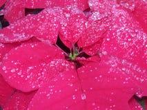 Deszcz całujący Poinsetta Zdjęcia Stock