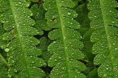 Deszcz krople Na Bracken paproci zdjęcia royalty free