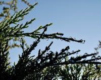 Deszcz krople na conifer liściach obrazy stock