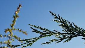 Deszcz krople na conifer liściach Obraz Stock