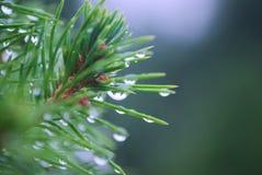 Deszcz krople na cyprysie Zdjęcia Royalty Free
